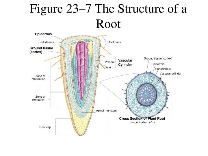 Figure 23–7 The Structure of a Root