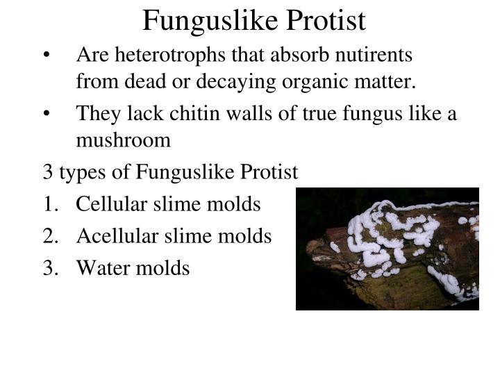 Funguslike Protist
