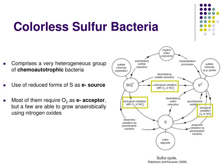 Colorless Sulfur Bacteria