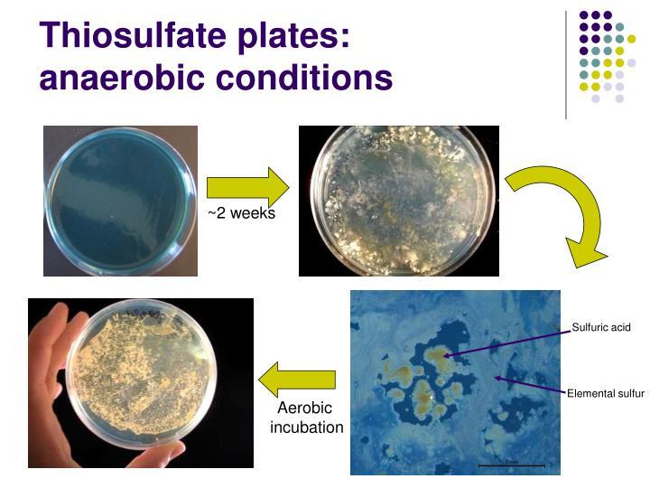 Thiosulfate plates: