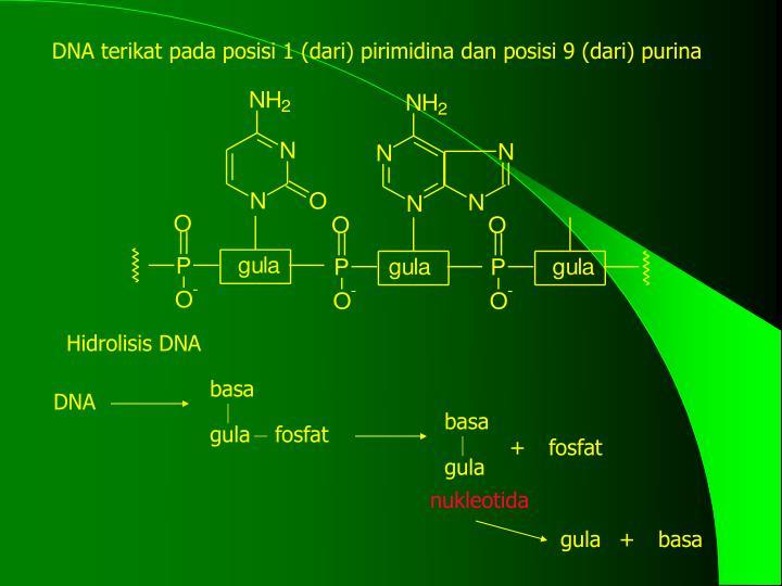 DNA terikat pada posisi 1 (dari) pirimidina dan posisi 9 (dari) purina