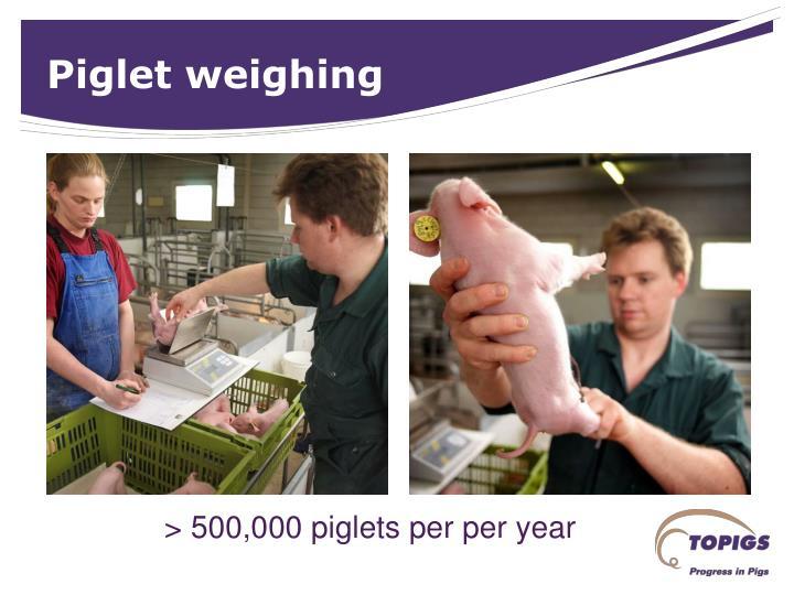 Piglet weighing