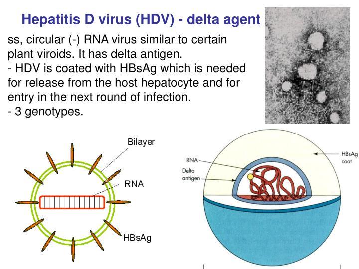 Hepatitis D virus (HDV) - delta agent
