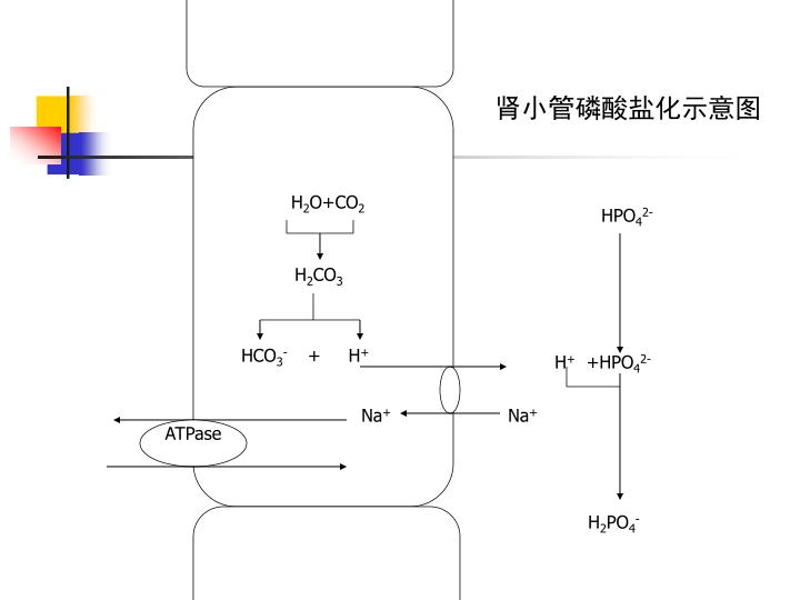 肾小管磷酸盐化示意图