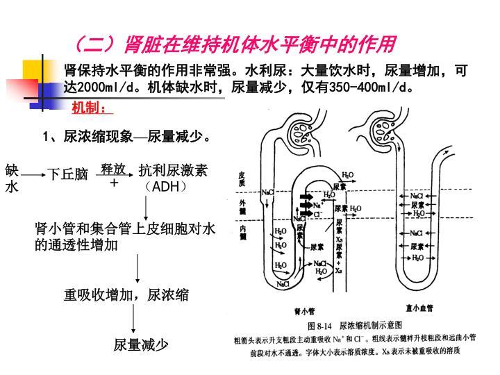 (二)肾脏在维持机体水平衡中的作用