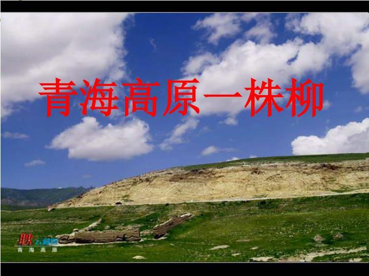 青海高原一株柳