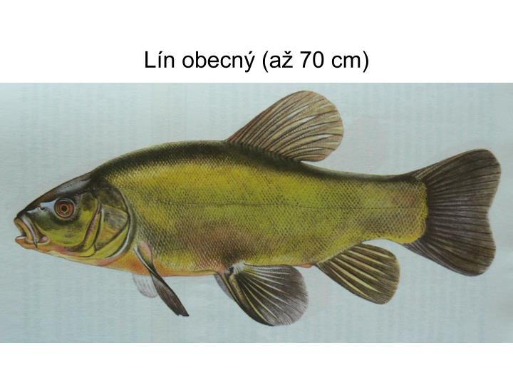Lín obecný (až 70 cm)