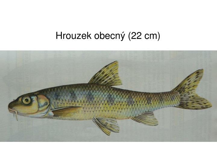 Hrouzek obecný (22 cm)