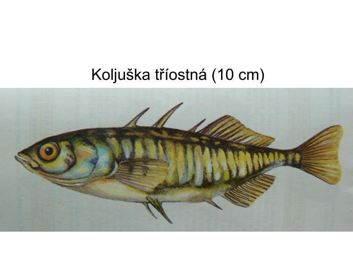 Koljuška tříostná (10 cm)