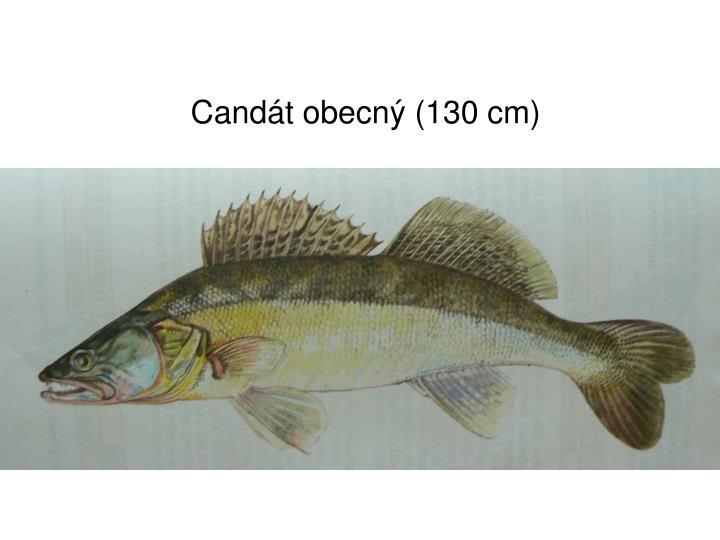 Candát obecný (130 cm)