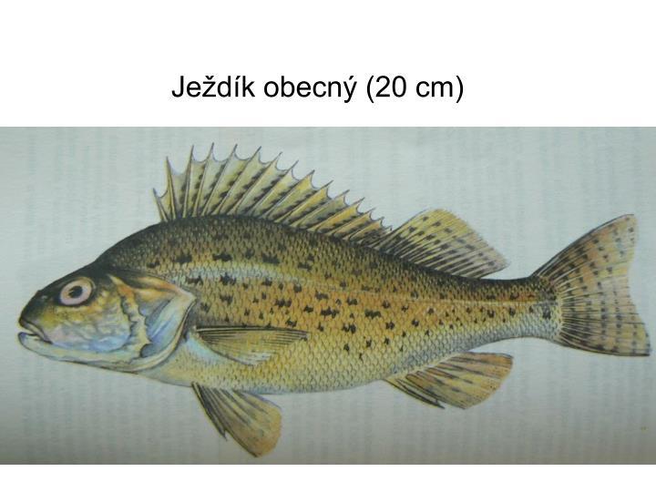 Ježdík obecný (20 cm)