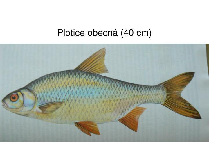 Plotice obecná (40 cm)