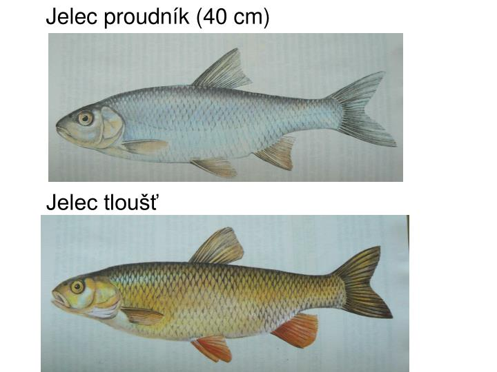 Jelec proudník (40 cm)