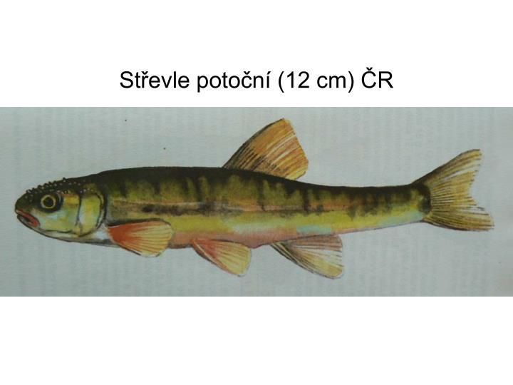 Střevle potoční (12 cm) ČR