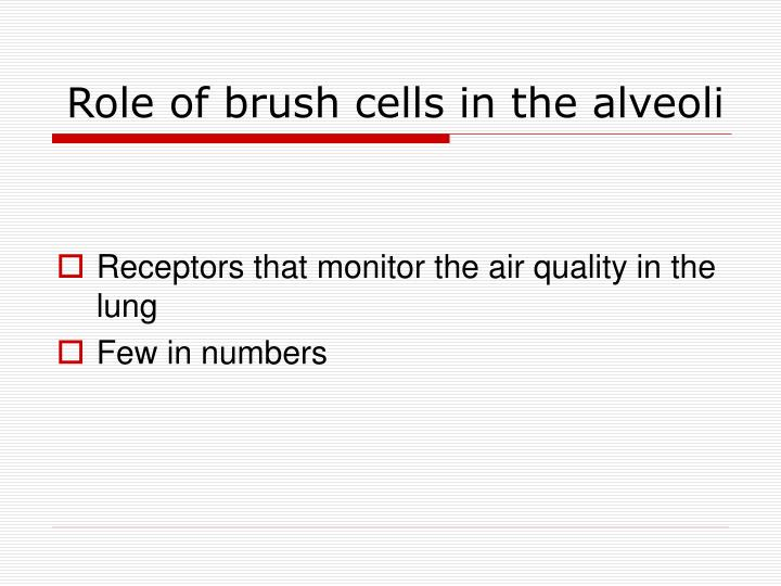 Role of brush cells in the alveoli