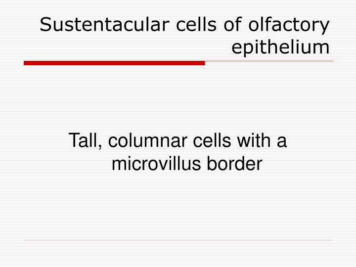 Sustentacular cells of olfactory epithelium