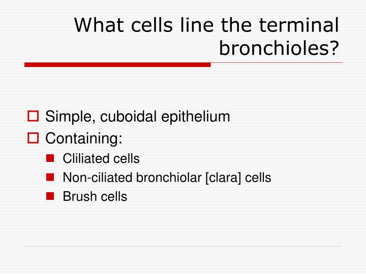 What cells line the terminal bronchioles?