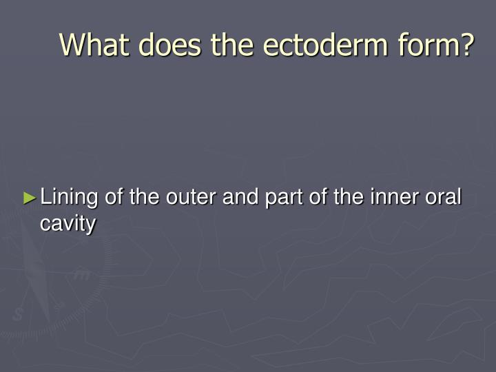 What does the ectoderm form?