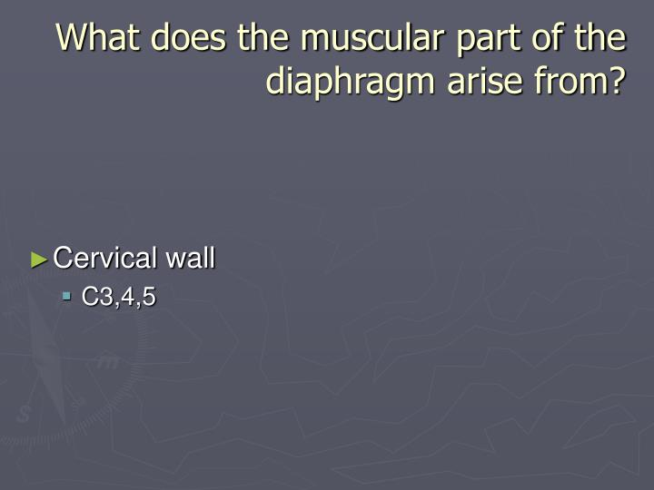 What does the muscular part of the diaphragm arise from?