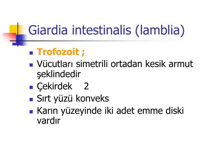 Giardia intestinalis (lamblia)