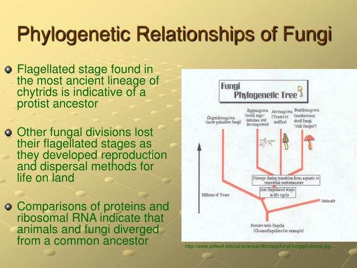 Phylogenetic Relationships of Fungi