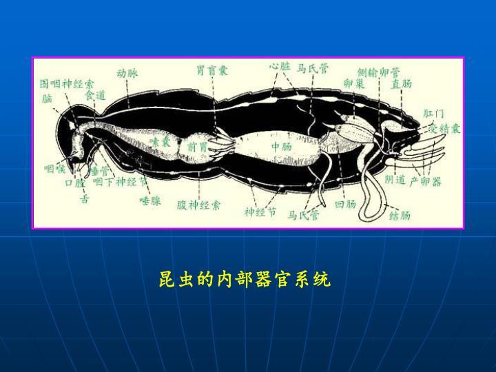 昆虫的内部器官系统