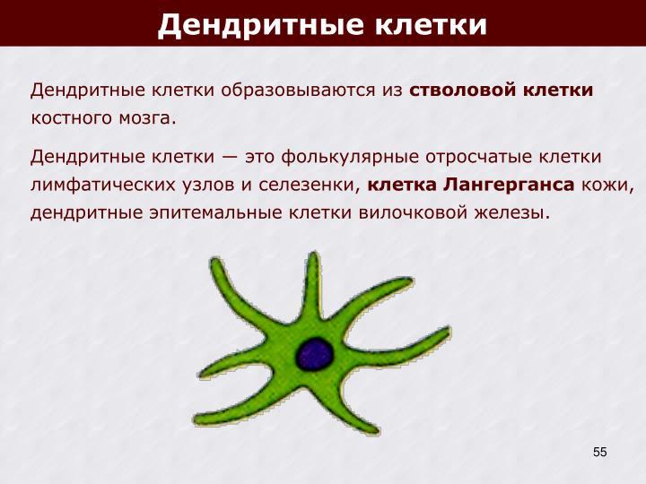 Дендритные клетки