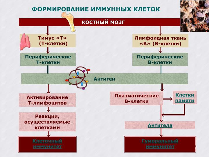 ФОРМИРОВАНИЕ ИММУННЫХ КЛЕТОК