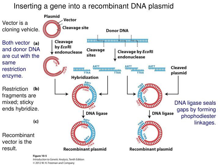 Inserting a gene into a recombinant DNA plasmid