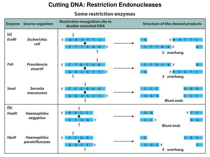 Cutting DNA: Restriction Endonucleases