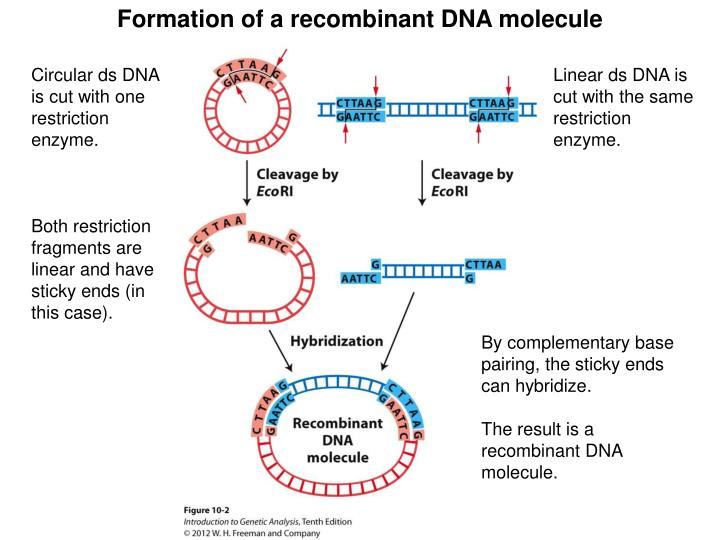 Formation of a recombinant DNA molecule