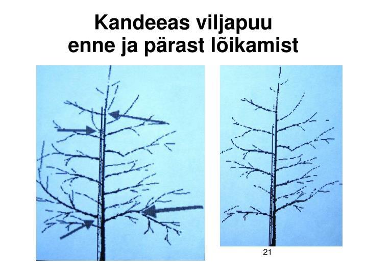 Kandeeas viljapuu