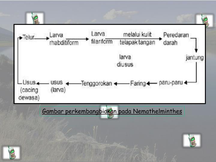 Gambar perkembangbiakan pada Nemathelminthes