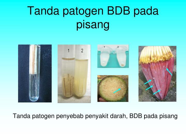 Tanda patogen BDB pada pisang
