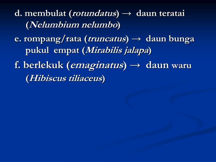 d. membulat (
