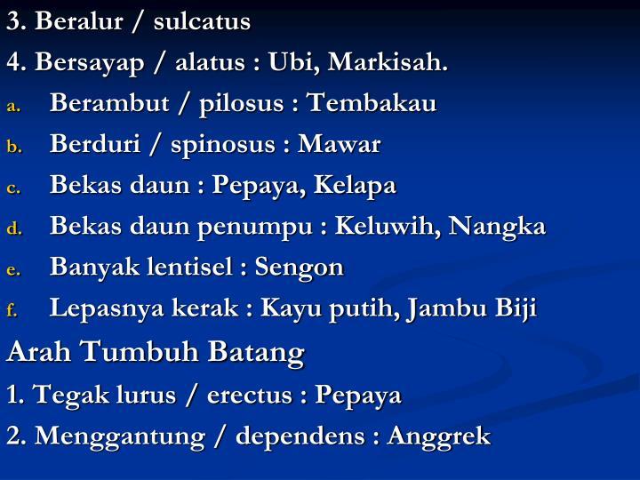 3. Beralur / sulcatus