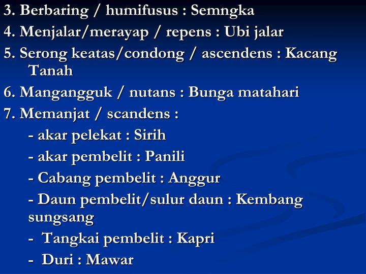 3. Berbaring / humifusus : Semngka
