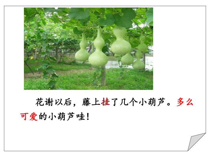 花谢以后,藤上挂了几个小葫芦。