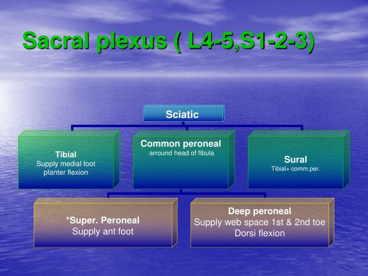 Sacral plexus ( L4-5,S1-2-3)