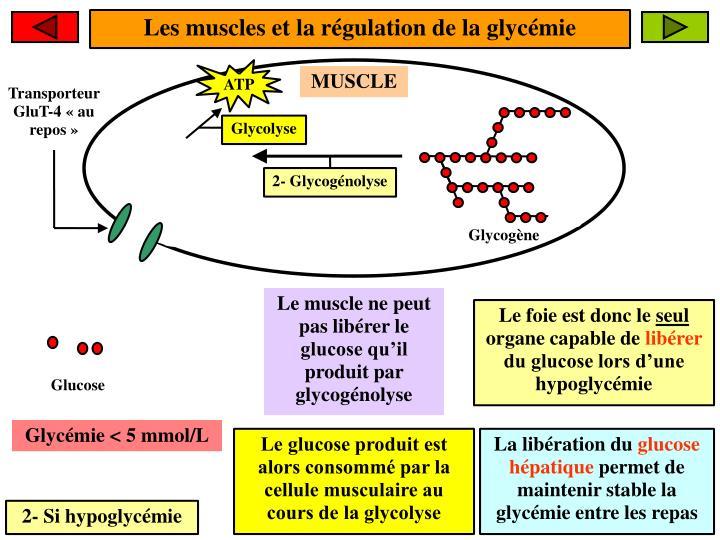 Les muscles et la régulation de la glycémie