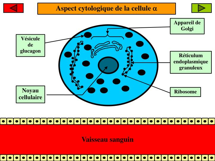 Aspect cytologique de la cellule