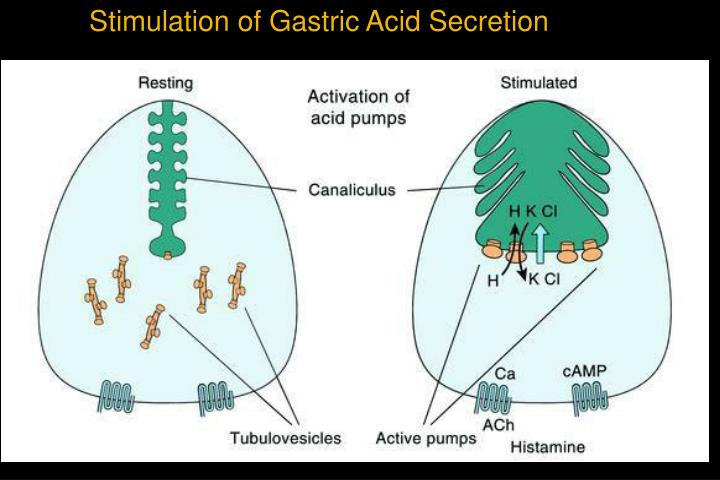 Stimulation of Gastric Acid Secretion