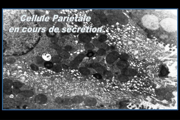 Cellule Pariétale