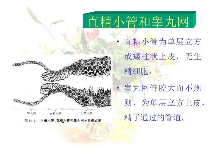 直精小管和睾丸网