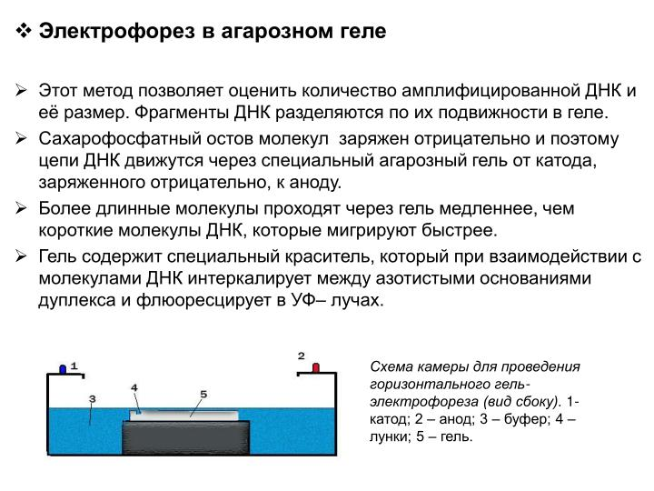 Электрофорез в агарозном геле