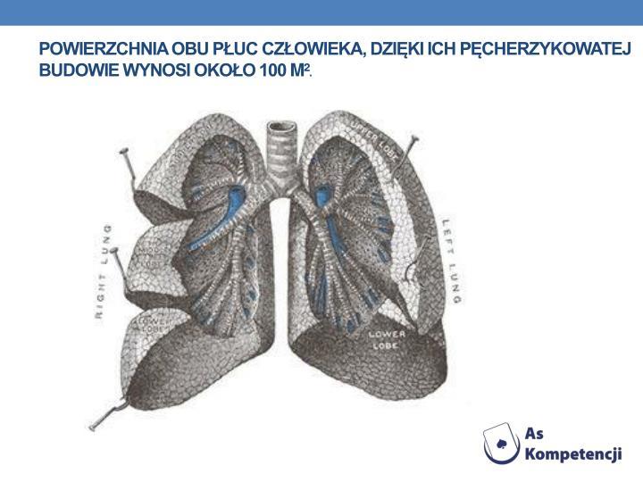 Powierzchnia obu płuc człowieka, dzięki ich pęcherzykowatej budowie wynosi około 100