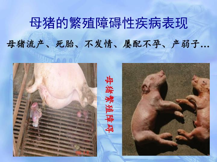 母猪的繁殖障碍性疾病表现