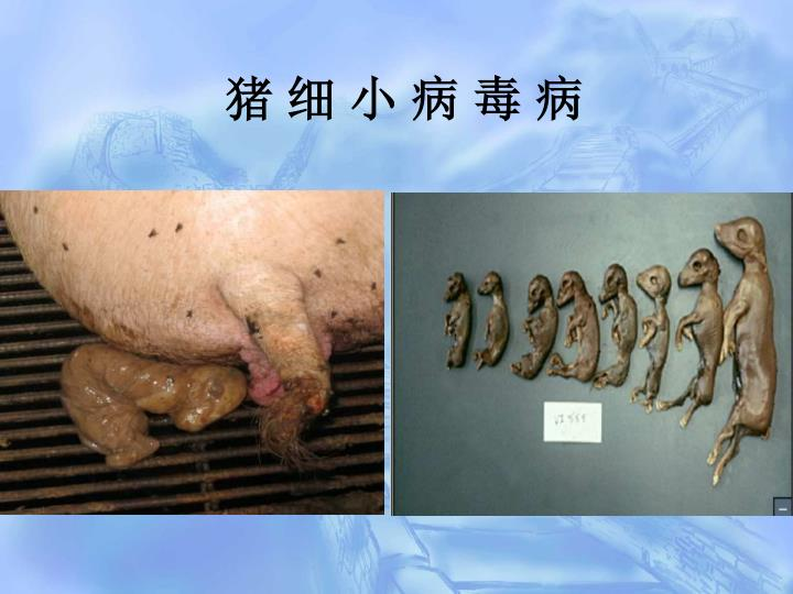 猪 细 小 病 毒 病