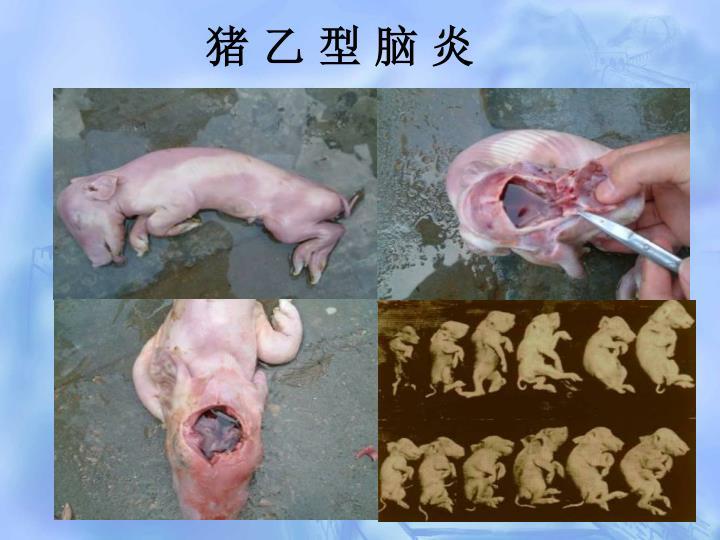 猪 乙 型 脑 炎