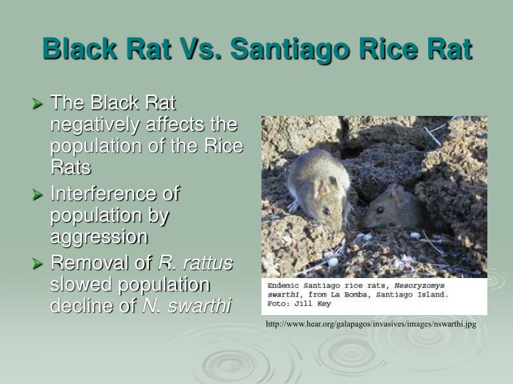 Black Rat Vs. Santiago Rice Rat